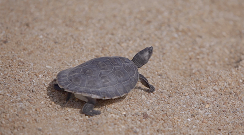 Please help us win SGD5,000 for our terrapin project!