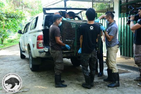 BSBCC team transferring the newly arrived sun bear out of the Sabah Wildlife Department vehicle