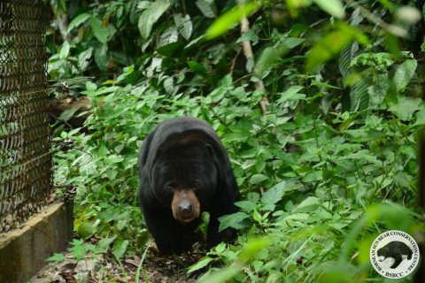 Bear Story –  One Small Step for the Sun Bear Center, One Giant Leap for Sigalung!