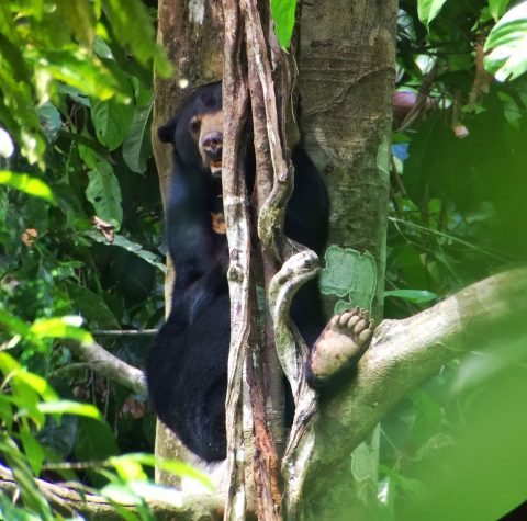 That is one of my favourite picture of the bear, taken through a spotting scope at the visitor's platform.