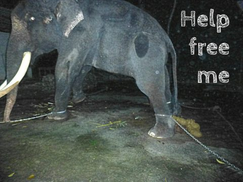 Help free Lasah the elephant in Langkawi