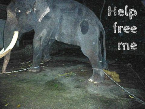 Help free Lasah the elephant in Langkawi