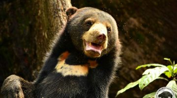 Bear Story – Mary The Sun Bears Voice – Finding Life In The Forest