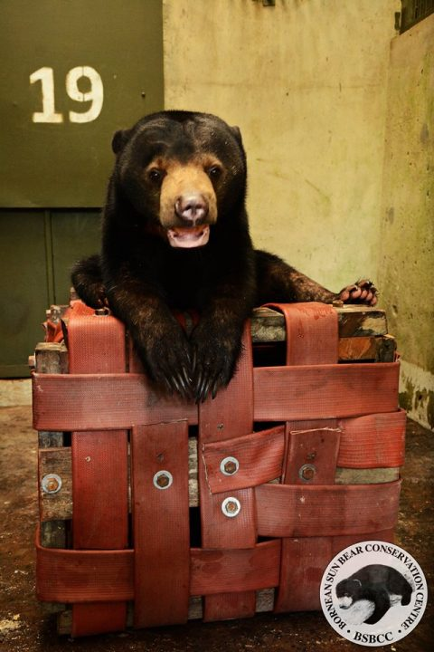 Simone the sun bear enjoying her new enrichment