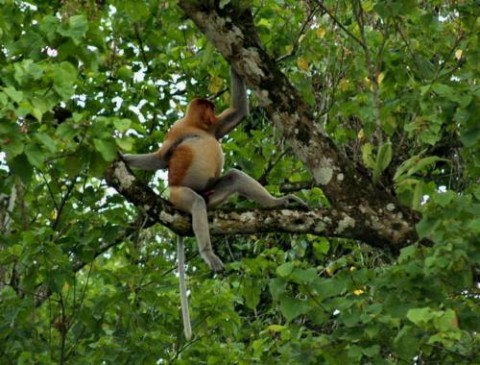 Take an early morning or late afternoon river cruise for guaranteed sightings of this unusual and endemic primate of Borneo