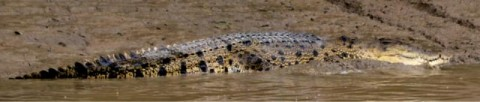 Crocodilus waitingtoeatuensis found on most sandy beaches on low water during the dry season