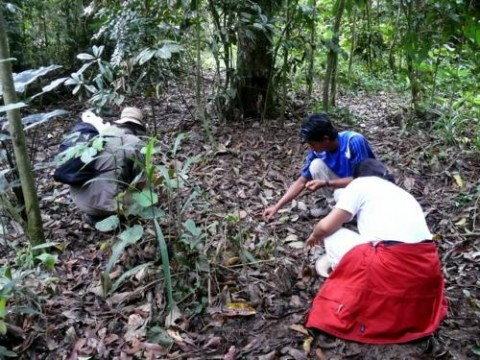 Vital seed collecting is carried out in the different forest types surrounding Batu Puteh with volunteers and school groups
