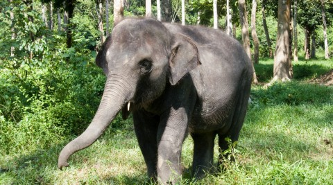 Saving the Wild Elephants of Peninsular Malaysia