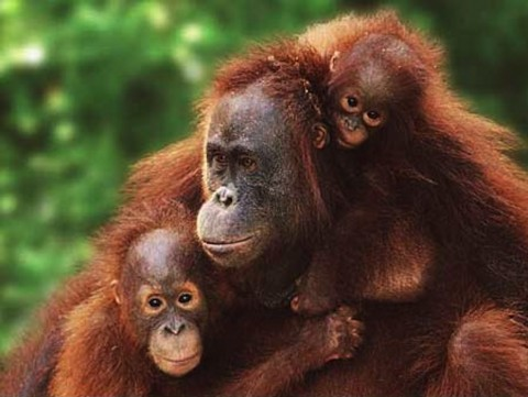 Orangutan Conservation in Sarawak
