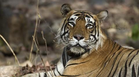 Tigers and prey program