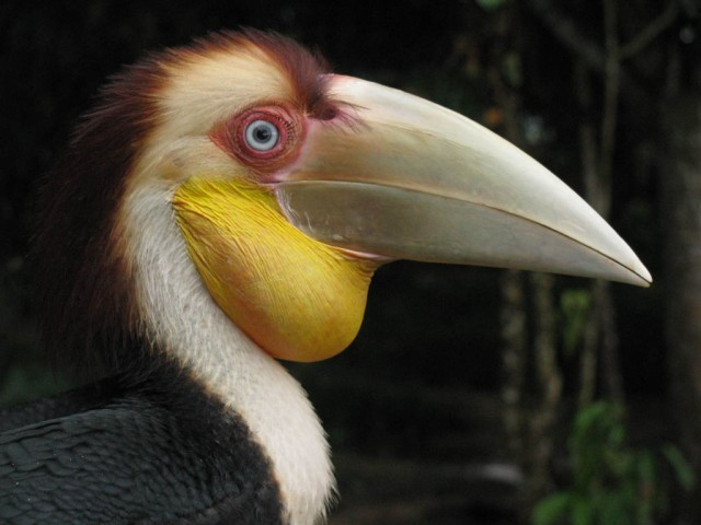 Plain-pouched-Hornbill
