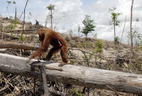 Orangutans facing extinction - Image source: http://dc435.4shared.com/doc/YSkB3T8o/preview.html