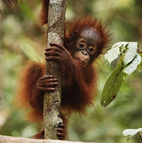 Orangutans facing extinction - Image source: http://earthmermaid.wordpress.com/tag/orangutans/