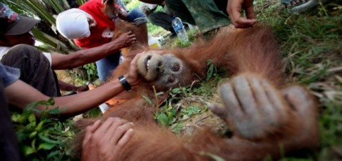 Orangutans facing extinction - Image source: http://metro.co.uk/2012/03/29/orangutans-facing-accelerated-extinction-after-indonesian-forest-fires-370233/