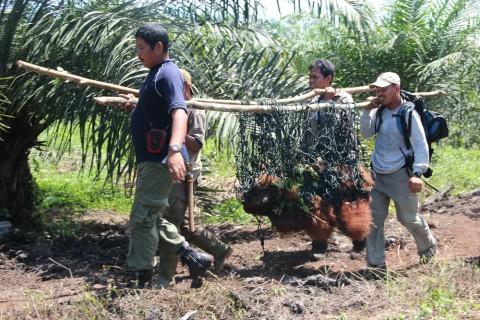 Orangutans facing extinction - Image source: http://endoftheicons.wordpress.com/tag/sumatran-orangutan/