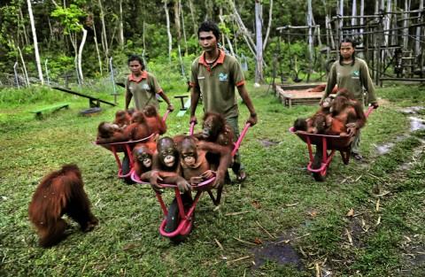 Orangutans facing extinction - Image source: http://www.washingtonpost.com/wp-dyn/content/gallery/2009/11/13/GA2009111302077.html