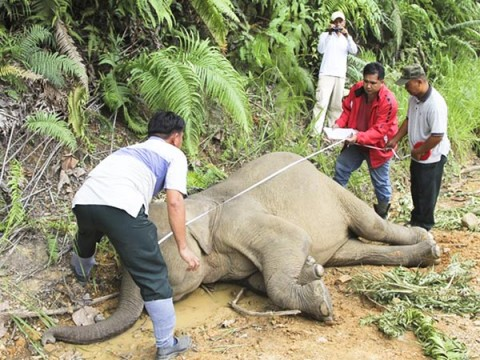 Pygmy elephants poisoned - Image source: http://news.nationalgeographic.com/news/2013/01/130131-borneo-pygmy-elephants-killings-animals-conservation-science/