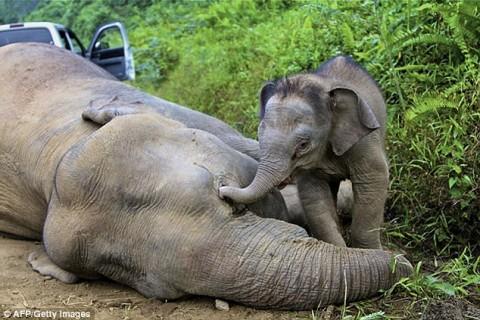 Pygmy elephants poisoned - Image source: http://www.dailymail.co.uk/news/article-2271230/Endangered-pygmy-elephants-killed-plantation-workers.html