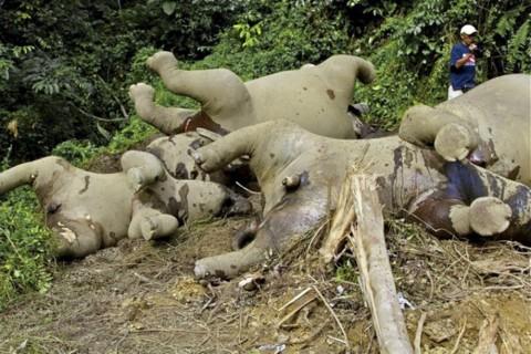 Pygmy elephants poisoned - Image source: http://news.asiaone.com/News/AsiaOne+News/Crime/Story/A1Story20130419-417000.html