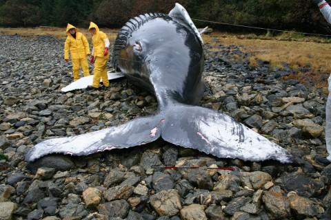 Mini workshop on whale & dolphin stranding response @ Naturally Langkawi Green Week @Frangipani Resort & Spa