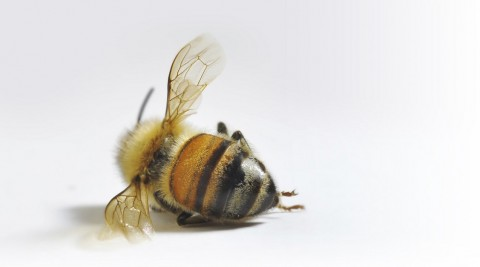 "(Petition) Tell Bayer: Stop Making Bee-Killing Neonic Pesticides!   / (请愿书)告诉拜耳公司 : 停止制造""杀蜜蜂""的氖农药!"