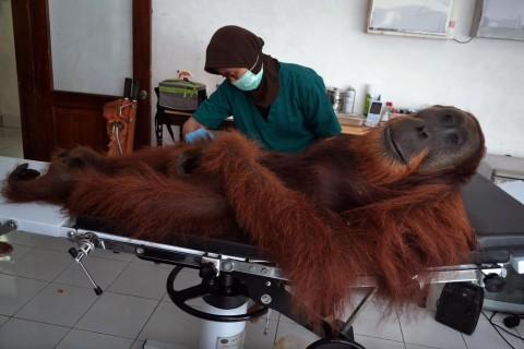 Borneo orangutan dies