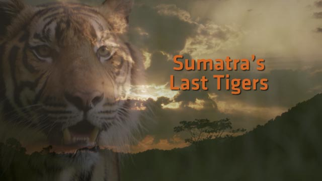 SUMATRAS_LAST_TIGERS_Opening Titles