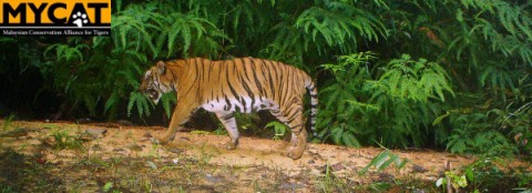 Malayan Tiger needs you!