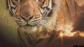"National Screening of ""Sumatra's Last Tiger"", October 16th 2015, Black Box, Publika, at 7:45 pm"