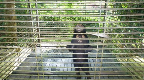 Borneo's sad sun bears caged for tourists' entertainment