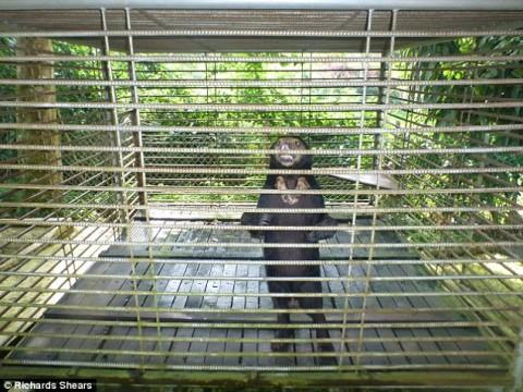 Borneo's sad sun bears caged for tourists' entertainment