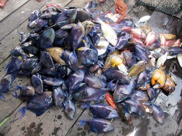 Tracking Asia's Fish Bombers Documentary - bombed fish - pic by Ken Fong