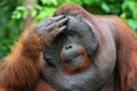 Endangered Orangutans Suffer from Haze 2015