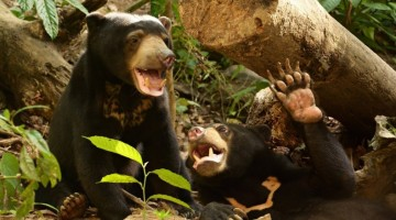 Rescued Sun Bears get a New Lease on Life