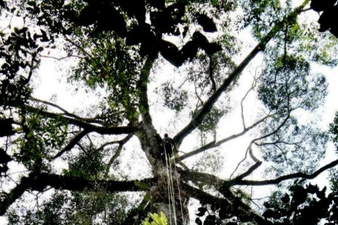 Tallest tree in the tropics discovered in Malaysia