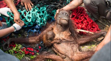 Orangutans face complete extinction within 10 years, animal rescue charity warns
